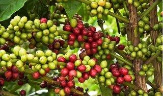 Giá cà phê hôm nay ngày 28/8: Trong nước giảm mạnh, thế giới biến động trái chiều