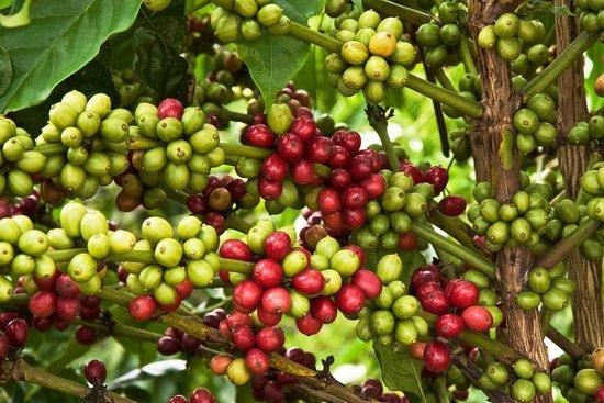Giá cà phê hôm nay ngày 28/8, trong nước và thế giới giảm mạnh
