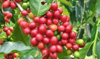 Giá cà phê hôm nay ngày 1/9: Trong nước duy trì quanh ngưỡng 33.500 đồng/kg