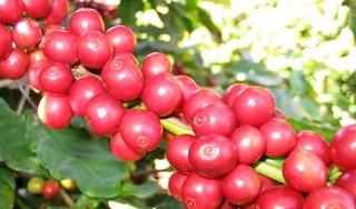 Giá cà phê hôm nay ngày 2/9: Trong nước và thế giới khởi sắc