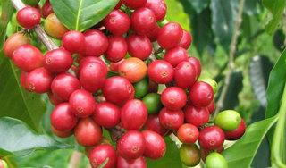 Giá cà phê hôm nay ngày 3/9: Trong nước đi ngang, thế giới giảm sâu