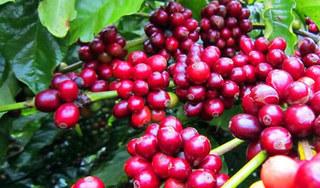 Giá cà phê hôm nay ngày 4/9: Trong nước giảm nhẹ, thế giới biến động trái chiều