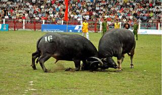 Đồ Sơn tạm dừng lễ hội chọi trâu truyền thống 2020 vì Covid-19