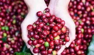 Giá cà phê hôm nay ngày 5/9: Trong nước và thế giới tăng nhẹ