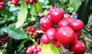 Giá cà phê hôm nay ngày 6/9: Trong nước chạm ngưỡng 34.000 đồng/kg