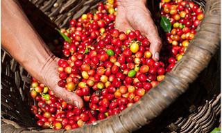 Giá cà phê hôm nay ngày 8/9: Trong nước và thế giới giảm mạnh