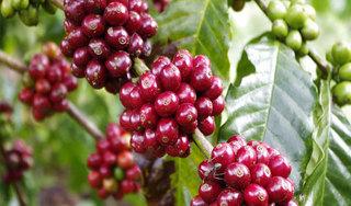Giá cà phê hôm nay ngày 9/9: Trong nước giảm sâu, xuống dưới mức 33.000 đồng/kg