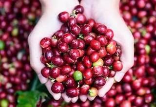 Giá cà phê hôm nay ngày 11/9: Trong nước giao dịch quanh ngưỡng 33.000 đồng/kg