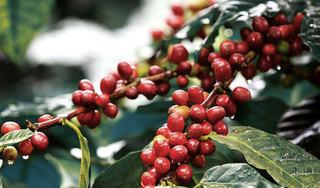 Giá cà phê hôm nay ngày 12/9: Trong nước đồng loạt tăng thêm 300 đồng/kg