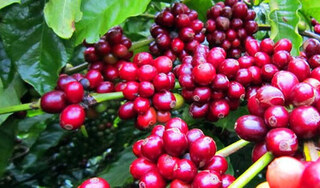 Giá cà phê hôm nay ngày 15/9: Trong nước và thế giới giảm mạnh