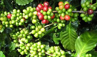Giá cà phê hôm nay ngày 16/9: Trong nước bật tăng trở lại, thế giới tiếp tục giảm sâu