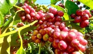 Giá cà phê hôm nay ngày 18/9: Trong nước giao dịch dưới ngưỡng 33.000 đồng/kg
