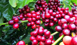 Giá cà phê hôm nay ngày 19/9: Trong nước và thế giới tiếp tục giảm sâu