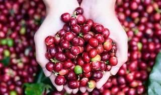 Giá cà phê hôm nay ngày 20/9: Trong nước giao dịch quanh mức 32.000 đồng/kg