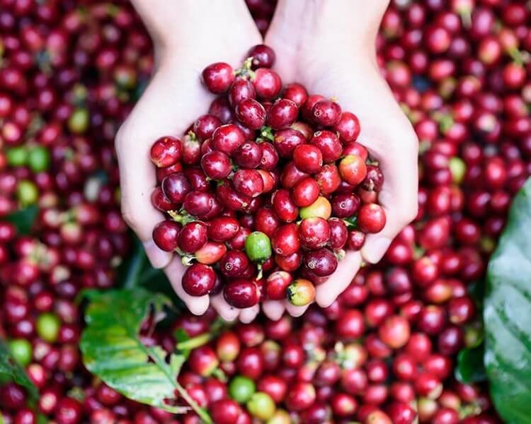 Giá cà phê hôm nay ngày 20/9, trong nước giao dịch quanh mức 32.000 đồng/kg