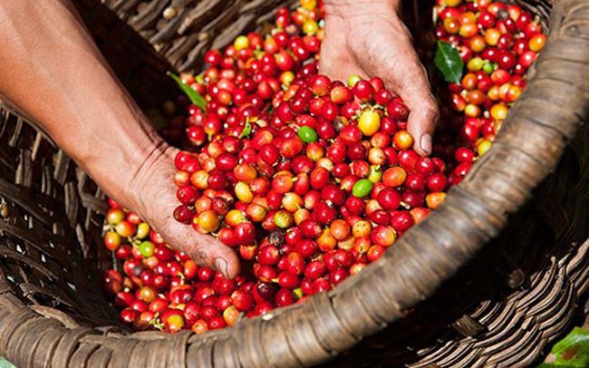 Giá cà phê hôm nay ngày 21/9, trong nước và thế giới đi ngang