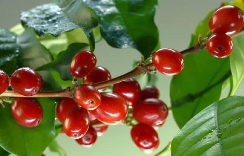 Giá cà phê hôm nay ngày 22/9, trong nước giao dịch quanh mức 32.000 đồng/kg