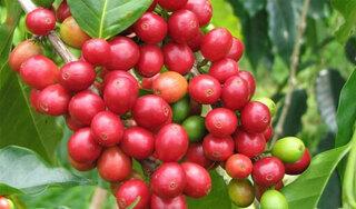 Giá cà phê hôm nay ngày 23/9: Trong nước và thế giới tiếp tục lao dốc