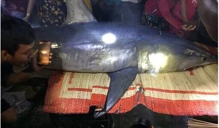 Cá mập xanh nặng 2 tạ dạt vào bờ biển Quảng Trị