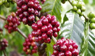 Giá cà phê hôm nay ngày 24/9: Trong nước đảo chiều tăng nhẹ, thế giới biến động trái chiều