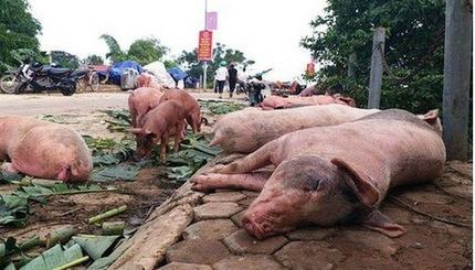 Hà Nam công bố dịch tả lợn châu Phi tại xã Phú Phúc