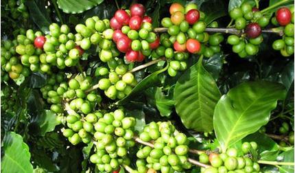 Giá cà phê hôm nay ngày 25/9: Trong nước và thế giới tiếp đà tăng nhẹ