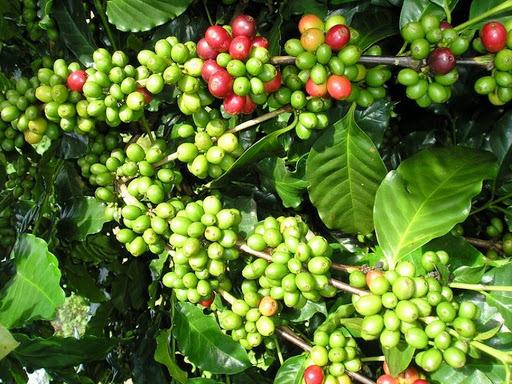 Giá cà phê hôm nay ngày 25/9, trong nước và thế giới tiếp đà tăng nhẹ
