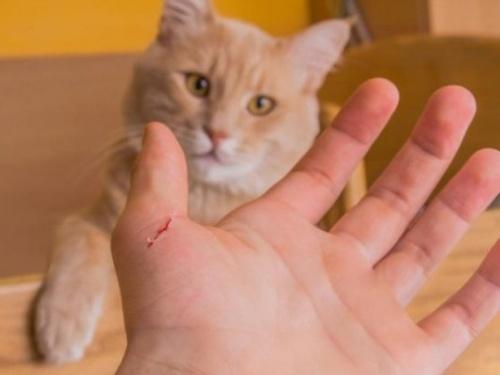 Có nên đi chích ngừa dại khi bị mèo cào hay không