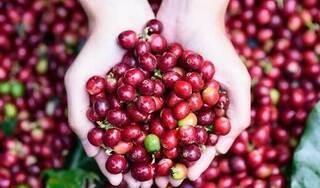 Giá cà phê hôm nay ngày 26/9: Trong nước và thế giới tiếp đà khởi sắc