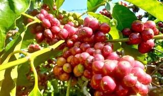 Giá cà phê hôm nay ngày 28/9: Trong nước biến động nhẹ, thế giới đi ngang
