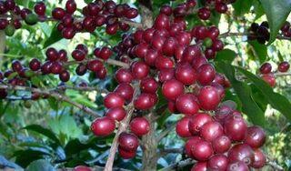 Giá cà phê hôm nay ngày 29/9: Trong nước và thế giới giảm mạnh