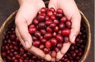 Giá cà phê hôm nay ngày 2/10: Trong nước xuống dưới mốc 31.000 đồng/kg