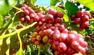 Giá cà phê hôm nay ngày 4/10: Trong nước đảo chiều tăng nhẹ, thế giới đi ngang