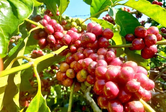 Giá cà phê hôm nay ngày 4/10, trong nước đảo chiều tăng nhẹ, thế giới đi ngang
