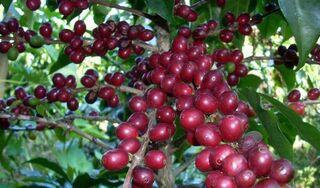 Giá cà phê hôm nay ngày 5/10: Trong nước giao dịch quanh mức 31.500 đồng/kg
