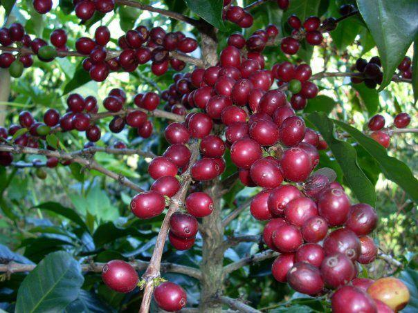 Giá cà phê hôm nay ngày 5/10, trong nước giao dịch quanh mức 31.500 đồng/kg