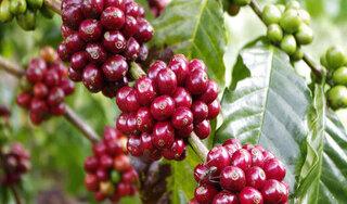 Giá cà phê hôm nay ngày 6/10: Trong nước đi ngang, thế giới giảm mạnh