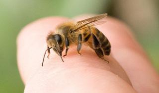 Từ vụ người đàn ông bị ong vò vẽ đốt tử vong, chuyên gia chỉ cách xử trí
