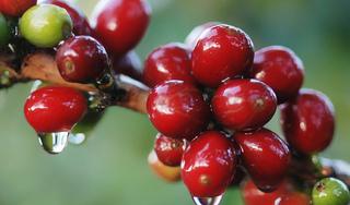 Giá cà phê hôm nay ngày 7/10: Trong nước đi ngang, thế giới diễn biến trái chiều