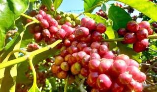 Giá cà phê hôm nay ngày 9/10: Trong nước và thế giới tăng nhẹ