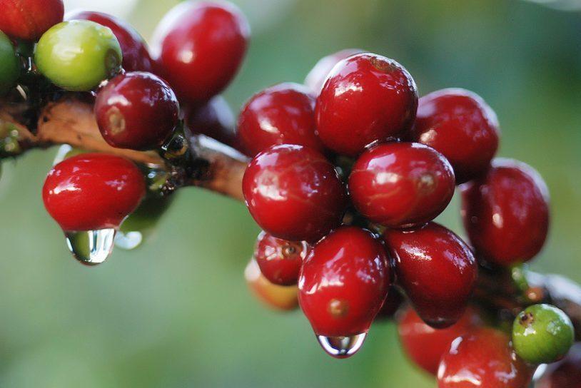 Giá cà phê hôm nay ngày 10/10, trong nước khởi sắc, lên mức 32.000 đồng/kg