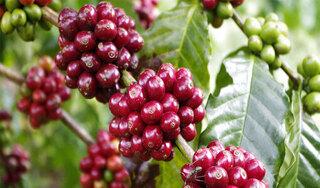 Giá cà phê hôm nay ngày 11/10: Trong nước giao dịch sát mốc 32.000 đồng/kg