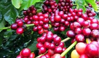 Giá cà phê hôm nay ngày 12/10: Trong nước giảm nhẹ, thế giới đi ngang