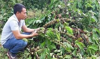 Kẻ gian chặt hàng trăm cây cà phê, cây ăn quả của người dân