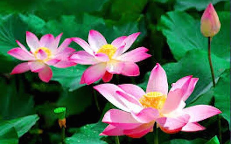 hoa sen phong thủy