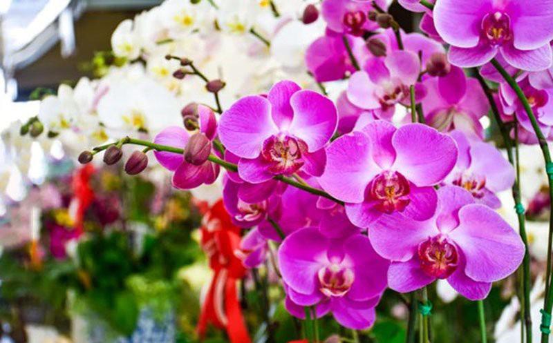 hoa phong lan phong thủy