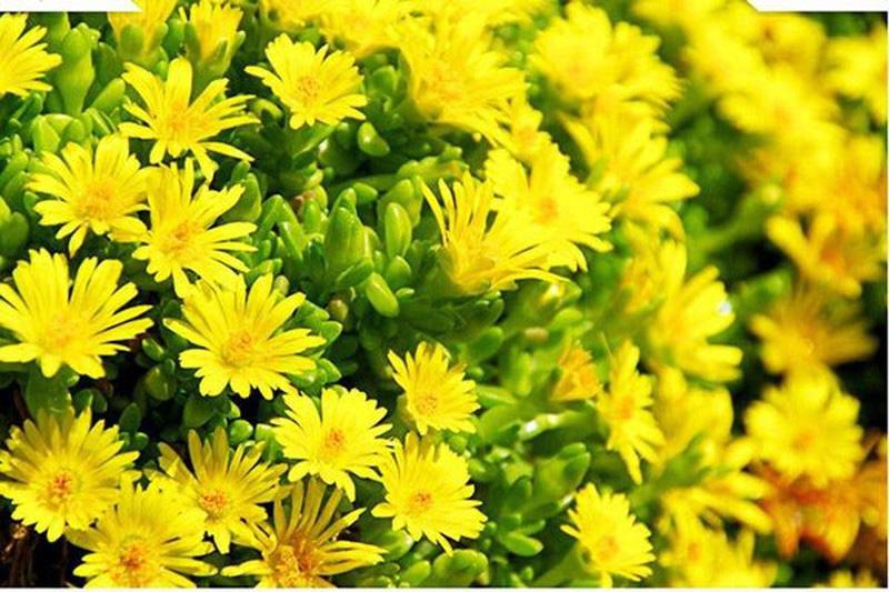 hoa cuc phong thuy