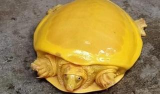Ấn Độ: Bắt được rùa vàng cực kỳ quý hiếm trong ao làng