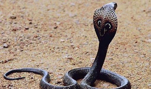 Người đàn ông hoại tử tay, nhiễm độc nặng sau khi bị rắn hổ mèo cắn