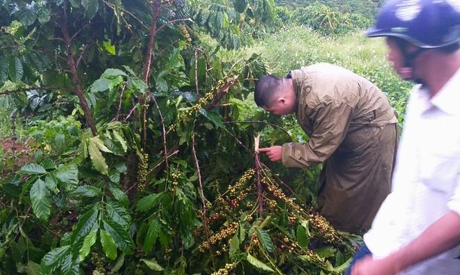 Gia đình ở Lâm Đồng 10 lần bị kẻ xấu chặt phá vườn cà phê